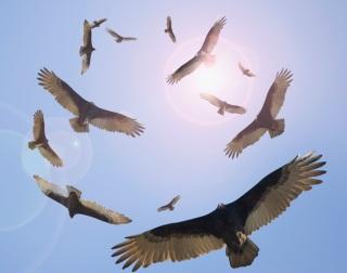 vultures-circling